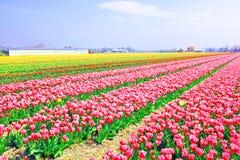 Tulipanes florecientes en el campo de Países Bajos Fotografía de archivo