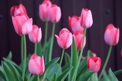 Tulipanes florecientes en la primavera Fotografía de archivo libre de regalías