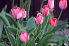 Tulipanes florecientes en la primavera Foto de archivo libre de regalías