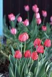 Tulipanes florecientes en la primavera Imagenes de archivo