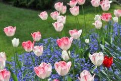 Tulipanes florecientes en primavera Fotografía de archivo