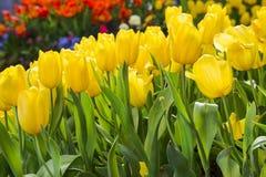 Tulipanes florecientes frescos en el jardín de la primavera Fotos de archivo libres de regalías
