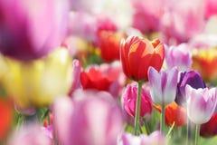 Tulipanes florecientes hermosos Fotos de archivo