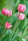 Tulipanes florecientes hermosos Imagen de archivo libre de regalías