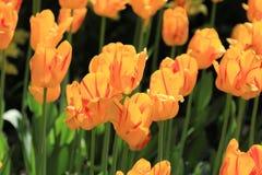 Tulipanes florecientes multicolores brillantes en primavera fotografía de archivo libre de regalías