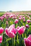 Tulipanes florecientes rosados del cierre Imagenes de archivo