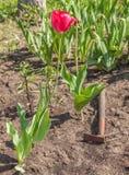 Tulipanes florecientes y cama de flor escardada en el jardín Foto de archivo