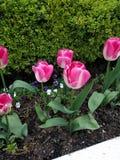 Tulipanes, flores Imagen de archivo