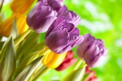 Tulipanes - flores coloridas en fondo de la naturaleza Foto de archivo libre de regalías