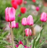 Tulipanes. Flores fucsias hermosas en parque. Foto de archivo