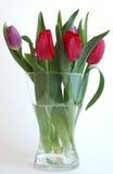 Tulipanes frescos Fotografía de archivo libre de regalías