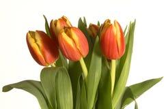 Tulipanes frescos Foto de archivo