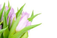 Tulipanes frescos Imágenes de archivo libres de regalías
