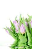 Tulipanes frescos Foto de archivo libre de regalías