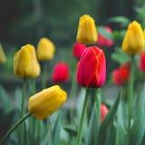 Tulipanes frescos Fotografía de archivo