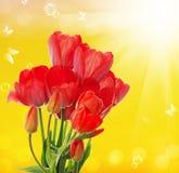 tulipanes frescos del jardín en backgr abstracto de la naturaleza de la primavera Foto de archivo libre de regalías