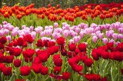 Tulipanes frescos en jardín Imagen de archivo libre de regalías