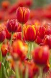 Tulipanes frescos en jardín Fotografía de archivo