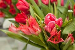 Tulipanes frescos rojos de la primavera de diversas variedades con el foco selectivo imagen de archivo