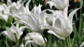 Tulipanes híbridos decorativos blancos Sapporo en el viento moderado de la primavera, 4K almacen de metraje de vídeo