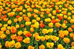 Tulipanes hermosos Imagen de archivo