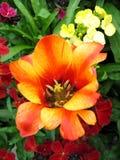 Tulipanes hermosos Fotografía de archivo libre de regalías