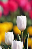 Tulipanes hermosos Foto de archivo libre de regalías