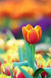 Tulipanes hermosos Foto de archivo