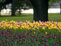 Tulipanes hermosos Imágenes de archivo libres de regalías