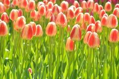 Tulipanes hermosos Fotografía de archivo
