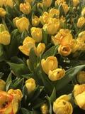 Tulipanes hermosos amarillos en primavera imágenes de archivo libres de regalías