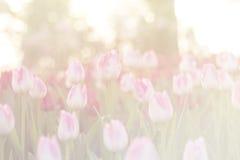 Tulipanes hermosos borrosos que florecen en la estación del invierno Fotografía de archivo libre de regalías