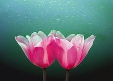 Tulipanes hermosos con descenso Foto de archivo libre de regalías