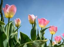 Tulipanes hermosos de las flores contra el cielo (relajación, meditación Imagen de archivo