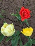 Tulipanes hermosos del color rojo y amarillo con descensos de rocío en las hojas Foto de archivo libre de regalías