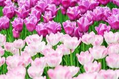 Tulipanes hermosos del resorte Foto de archivo libre de regalías
