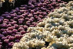 Tulipanes hermosos del rosa y blancos en tiempo soleado en Holanda imagenes de archivo