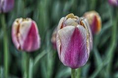 Tulipanes hermosos en Amsterdam imagen de archivo