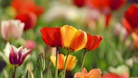 Tulipanes hermosos en campo cerca de Amsterdam almacen de metraje de vídeo