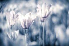 Tulipanes hermosos en campo en tono gris Imagenes de archivo
