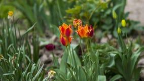 Tulipanes hermosos en el jardín imágenes de archivo libres de regalías