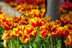 Tulipanes hermosos en jardín Foto de archivo