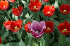 Tulipanes hermosos en jardín fotos de archivo