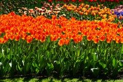 Tulipanes hermosos en jardín en los Países Bajos Imagen de archivo libre de regalías