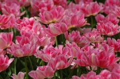 Tulipanes hermosos en Keukenhof, Holanda imagen de archivo