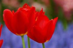 Tulipanes hermosos en Keukenhof, Holanda imagen de archivo libre de regalías