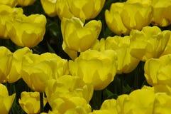 Tulipanes hermosos en Keukenhof, Holanda fotografía de archivo libre de regalías