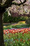 Tulipanes hermosos en la plena floración Foto de archivo