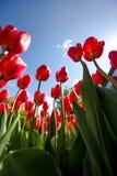 Tulipanes hermosos en resorte imagenes de archivo