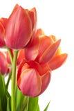 Tulipanes hermosos frescos/aislados en blanco fotos de archivo libres de regalías